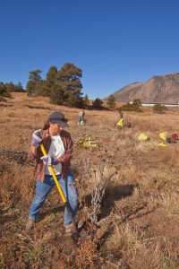 Volunteer, cutting down Scotch Thistle, a noxious weed, from Wildcat Reach section of the Rio de Flag, Make a Difference Day, October 26, 2013, Flagstaff